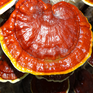 Best Reishi Extract for Immune Health